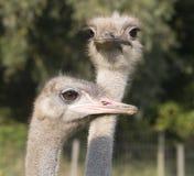 Huvud av två emu eller strutsar Royaltyfri Foto