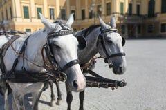 Huvud av två gråa hästar royaltyfri fotografi