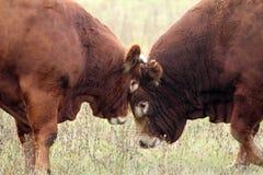 Huvud av två tjurar Fotografering för Bildbyråer