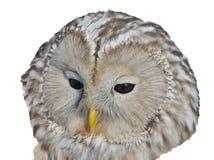 Huvud av ugglaStrixuralensis 2 arkivfoton