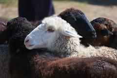Huvud av vita får på en bakgrund av svarta får Fotografering för Bildbyråer