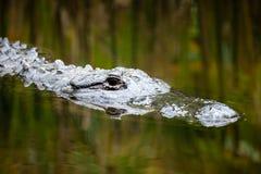 Huvud för amerikansk alligator precis nedanför vatten med reflekterade vasser Royaltyfria Bilder