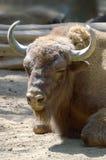 Huvud för amerikansk bison vertikalt arkivbild