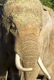 Huvud för asiatisk elefant på ståendeElephasmaximus Fotografering för Bildbyråer