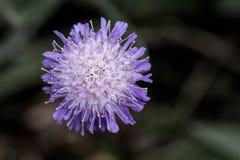 Huvud för blomma för bit för jäkel` s Arkivbilder