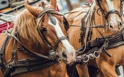Huvud för brun och vit häst som drar vagnen arkivbilder