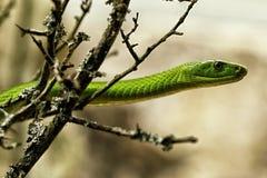 Huvud för grön orm på filialen arkivbild