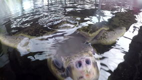 Huvud för havssköldpadda i akvarium arkivfilmer