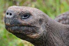 Huvud för jätte- sköldpadda, sidosikt ecuador galapagos liggande Arkivbilder