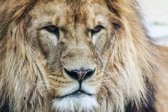 Huvud för Lion` s Konung av djur royaltyfri fotografi