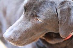 Huvud för svart hund med den röda kragen arkivfoto
