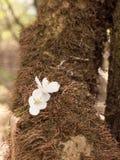 Huvud för vit blomma som vilar på brunt skäll Fotografering för Bildbyråer