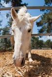 Huvud för vit häst Royaltyfri Fotografi