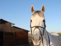 Huvud för vit häst med ladugårdbakgrunden royaltyfria foton
