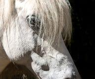 Huvud för vit häst som isoleras på svart bakgrund arkivbild