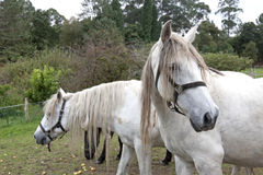 Huvud för vita hästar Royaltyfria Bilder