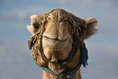 huvud för kamelchebbierg Arkivbild