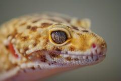 Huvud från sida av den gemensamma leopardgeckon Ödla Royaltyfri Fotografi