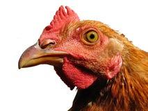 huvud isolerad rooster arkivfoto
