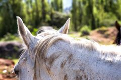 Huvud och öron av en vit häst arkivbild