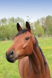 Huvud och hals av en hästbrown Arkivfoton