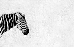 Huvud och hals av en sebra som tas mot den torra ointressanna bakgrundsnollan Royaltyfri Fotografi