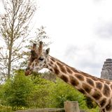Huvud och hals av en vuxen afrikansk giraff royaltyfria foton