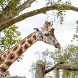 Huvud och hals av en vuxen afrikansk giraff royaltyfri foto