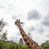 Huvud och hals av en vuxen afrikansk giraff royaltyfria bilder