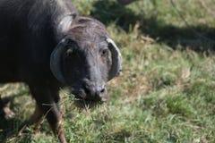 Huvud och konstigt horn av buffeln arkivbild