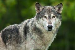 Huvud och kropp för Grey Wolf Canis lupusblickar ut Arkivfoto