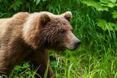 Huvud och skuldror av stora arctos för en brunbjörnUrsus som går nära skans sjön i den alaskabo vildmarken royaltyfri fotografi