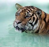 Huvud och skuldror för Siberian tiger Arkivfoton