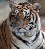 Huvud och skuldror för Siberian tiger Arkivbilder
