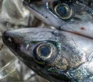 Huvud och stort öga av en död ny makrill, vetenskaplig namnScomberscombrus royaltyfria bilder