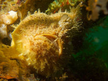 Huvud på skott av hispid frogfish 02 Royaltyfri Bild
