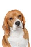 Huvud skjuten Beagle Fotografering för Bildbyråer