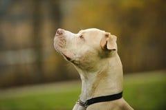 Huvud som skjutas av amerikanen Pit Bull Terrier Royaltyfri Fotografi