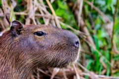 Huvud som skjutas av en Capybara Royaltyfria Bilder
