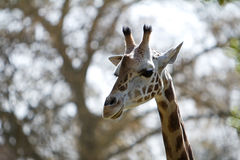 Huvud som skjutas av en giraff Royaltyfri Fotografi