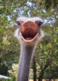 Huvud som skjutas av en ostrich Fotografering för Bildbyråer