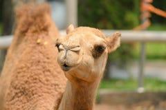 Huvud som skjutas av kamel royaltyfria foton