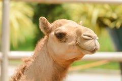 Huvud som skjutas av kamel arkivfoton