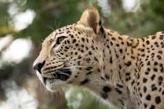 Huvud som skjutas av persisk leopard Arkivbilder