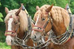 Huvuden av två bruna hästar Arkivbilder