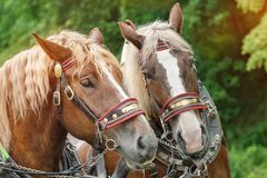 Huvuden av två bruna hästar Royaltyfria Foton