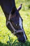 Huvudet av att spionera den bruna Hanoverian hästen i tygeln eller snafflen med den gröna bakgrunden av träd och gräs i den solig royaltyfri foto