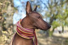 Huvudet av aveln för hund för Xoloitzcuintle hund den mexicanska hårlösa i ljus avriven halsduk på den höst-/nedgångbakgrunden arkivfoton