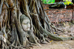 Huvudet av Buddha i träd Royaltyfri Bild