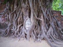Huvudet av Buddhastatyn i trädet rotar Fotografering för Bildbyråer